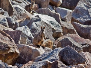 Brush-tailed Rock-wallaby