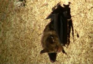 Creagh's Horseshoe Bat