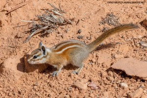 hopi-chipmunk-006