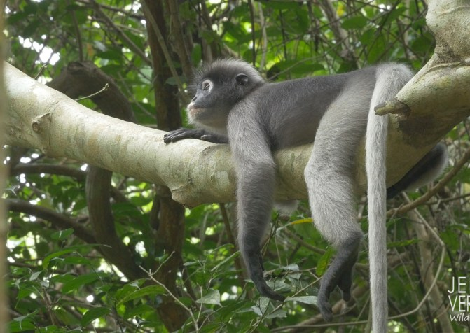 Mammalwatchint thai report leaf monkey 2018