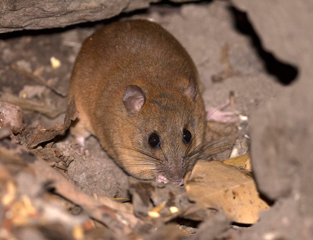 Fawn-footed Melomys