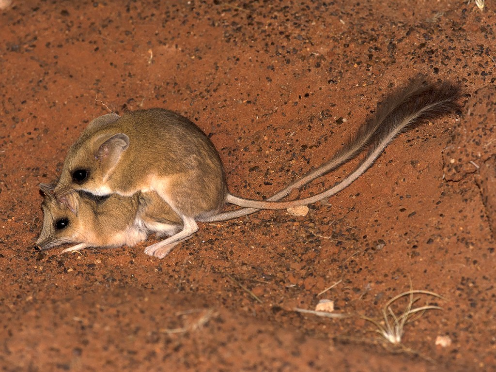 Kultarr - Antechinomys laniger - mating