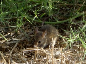 mouse from point vicente palos verdes (1)
