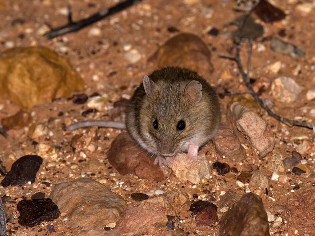 Desert Short-tailed Mouse - Leggadina forresti