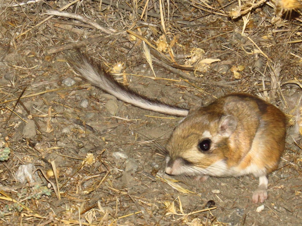 heermans-kangaroo-rat-wind-wolves-preserve-access-road-2