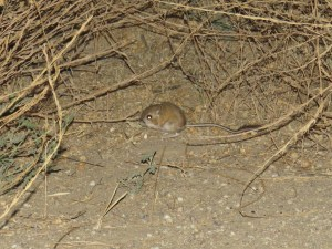 kangaroo-rat-carrizo-plain-2