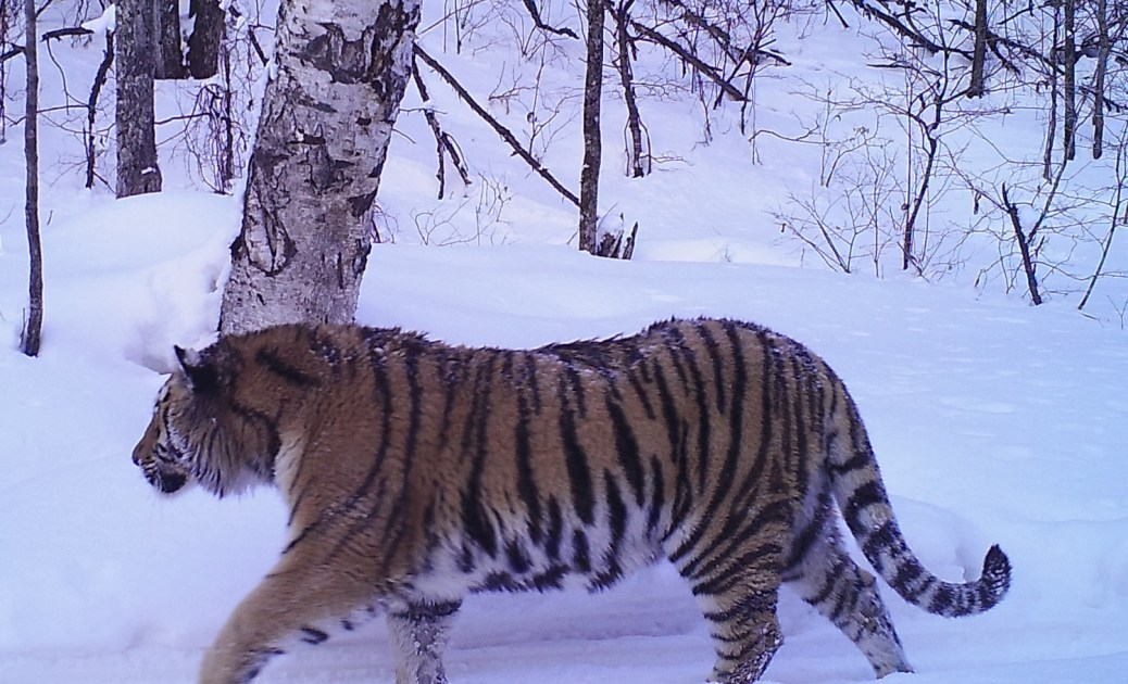 Tiger-Russia5