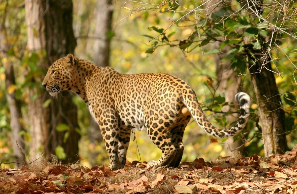Leopard-India2