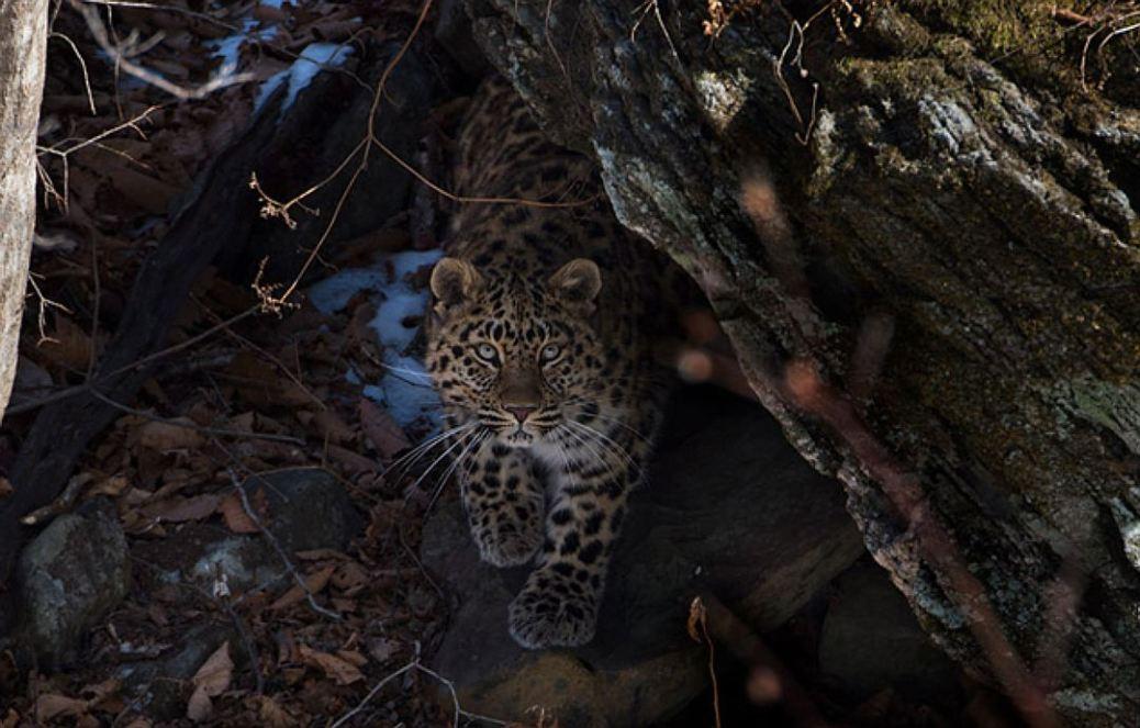 Amurleopard3