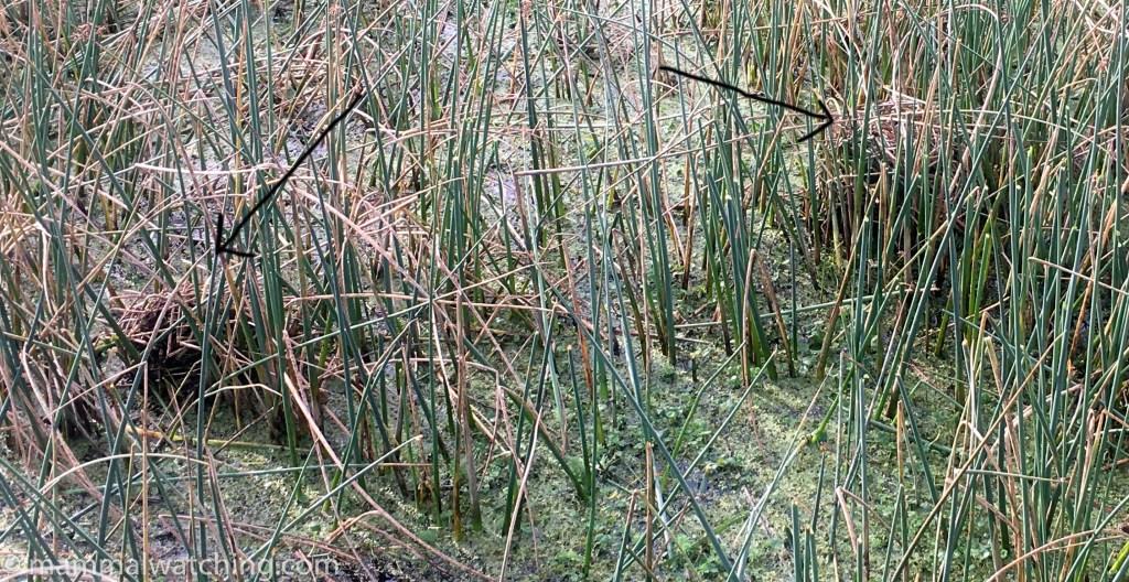 Round-tailed Muskrat lodges