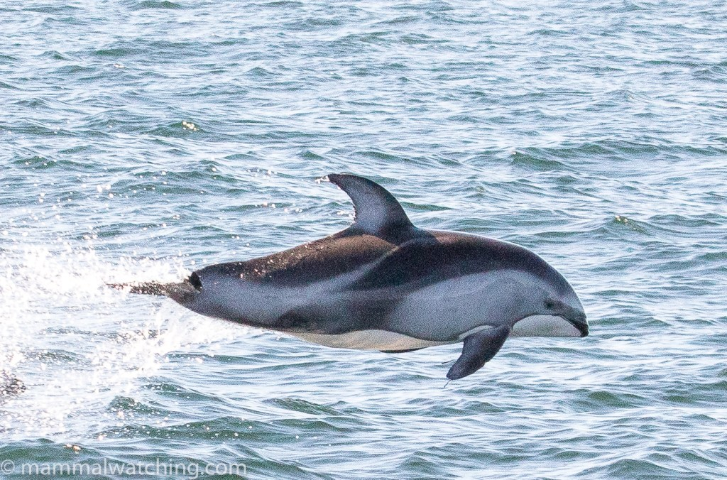 2017-Pacific-white-sided-dolphin-Lagenorhynchus-obliquidens-1