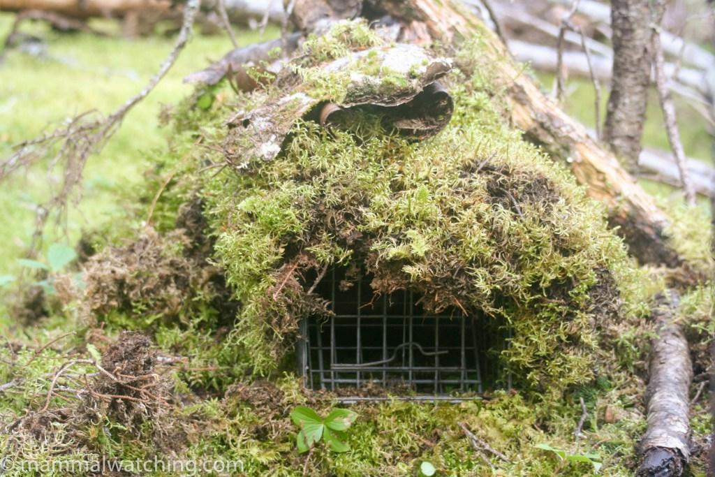 Newfoundland mammal watching for Maten trap