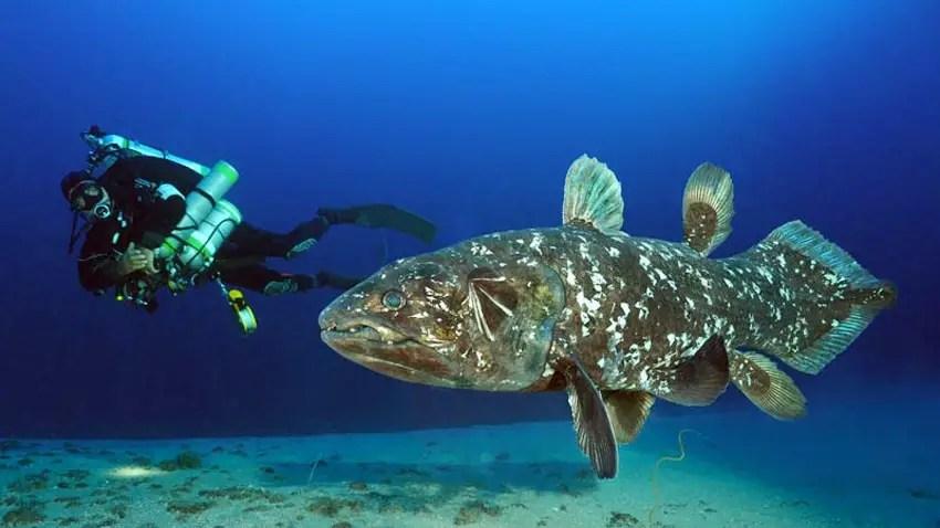 coelacanth ikan purba yang masih hidup di perairan manado di Taman Nasional Manado