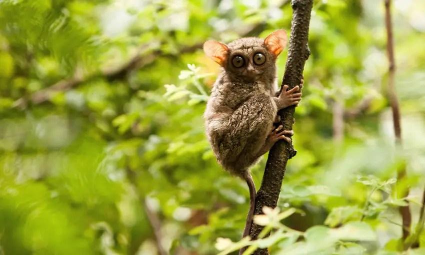 tarsius monyet terkecil di dunia ada di manado