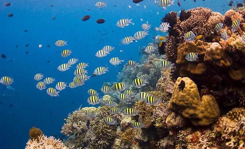 terumbu karang cantik di bawah laut siladen (by bluewaterdivetravel.com)
