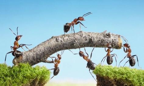 travail-collaboratif-fourmis