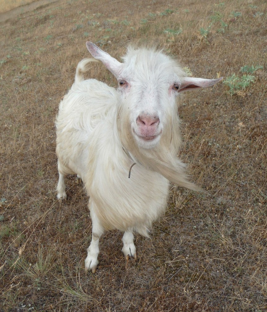 Domestic goat smile, Crimea, 2009. By George Chernilevsky. Public Domain