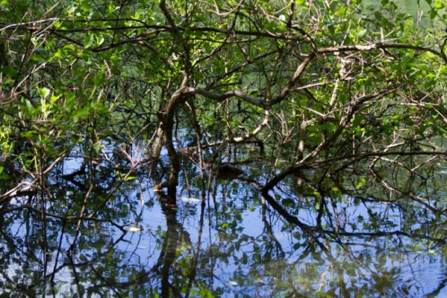 """Manchaug Pond """"mangrove"""" bush"""