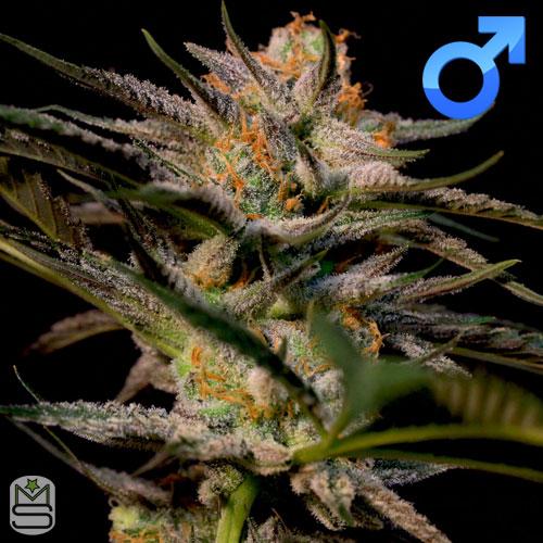 Original Dampkring Genetics – Solero
