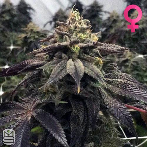 Pheno Finder Seeds - Star Cake