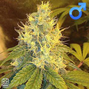Dirty Water Organic Seeds – Mass Chem Goji
