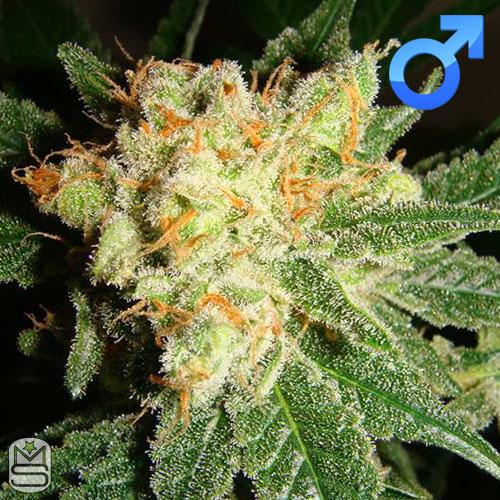 Lady Sativa Genetics - English OG
