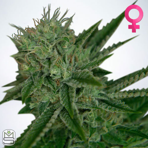 Ministry Of Cannabis - Auto Northern Lights