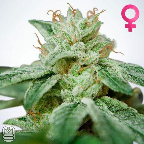 Ministry Of Cannabis - CBD Star