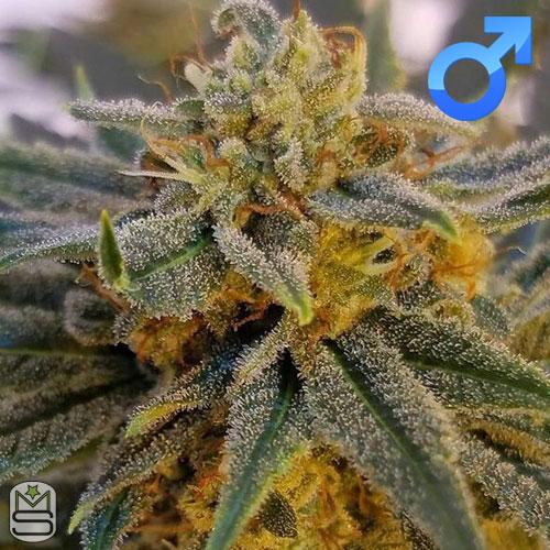 Mota Rebel Genetics - Orange Peel Ghash