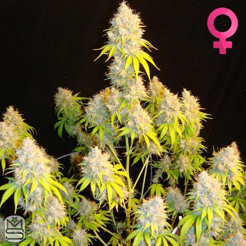 Mosca Seeds - Indiana Bubblegum S1
