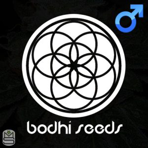Bodhi Seeds – Soar