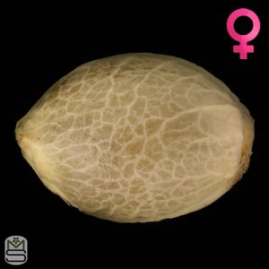 Humboldt Seeds Organisation – Sunshine Sherbert
