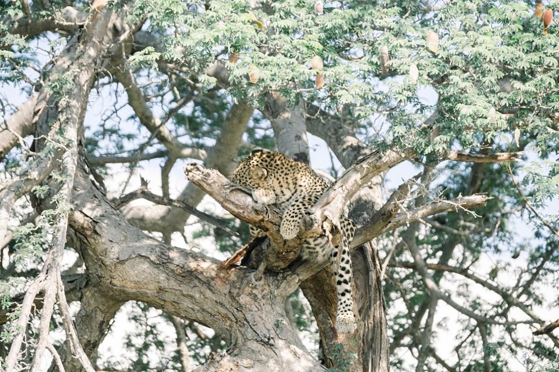 leopard in tree at Kruger national park