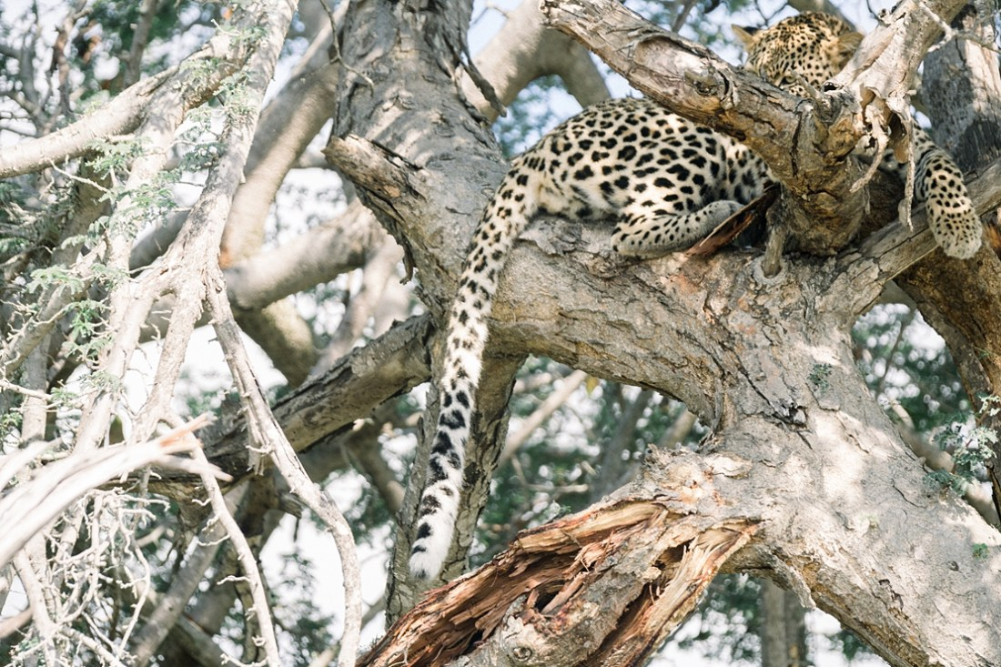 leopard in tree at Kruger national park