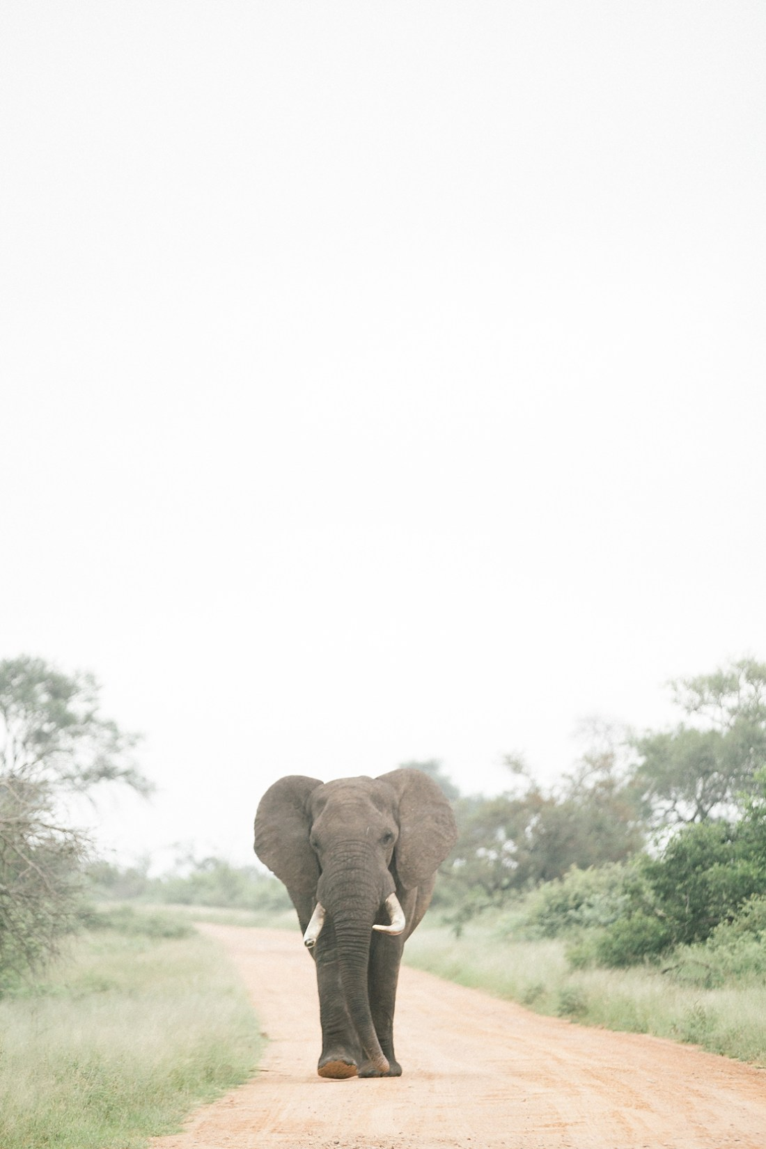 Bull elephant in Kruger national park