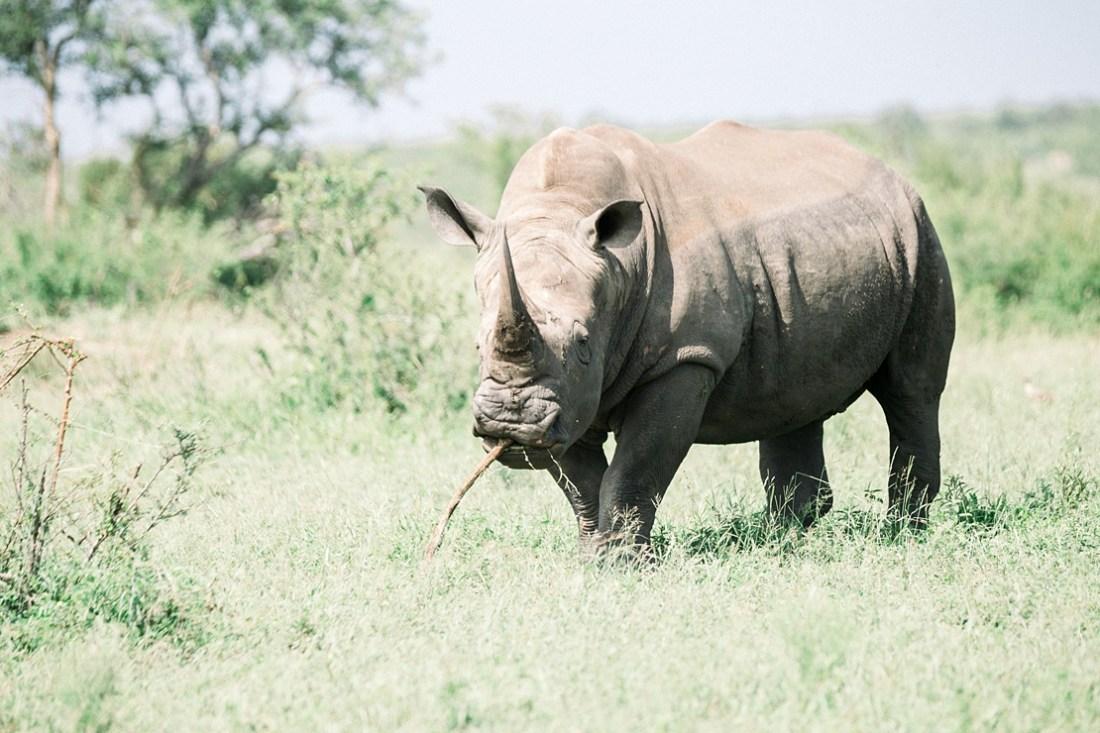 white rhino at Kruger national park