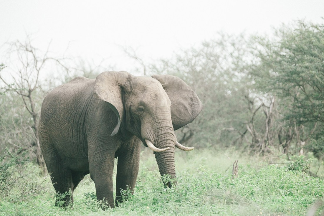 elephant at Kruger national park
