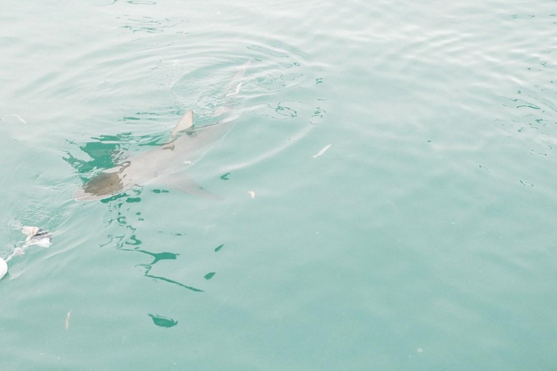 White Shark Diving Co