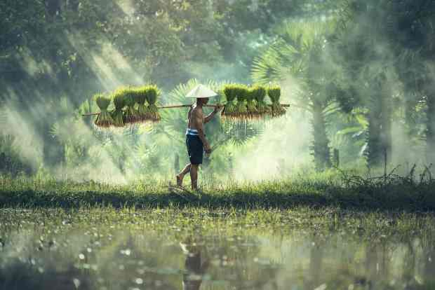 carrying rice seedlings
