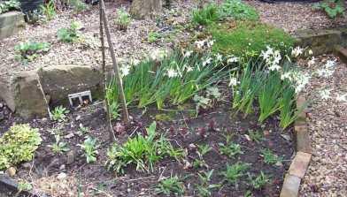 Coreopsis, Verbena bonariensis and Achillea Cassis