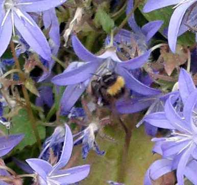Bee on Campanula carpatica