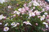 Clematis montana Elizabeth