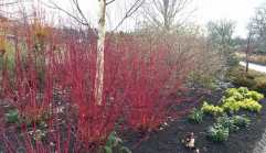 Silver birch and red-barked dogwood