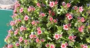 Echium wildpretii