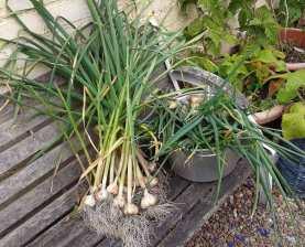 Autumn-planted garlic and Japanese Senshyu onions
