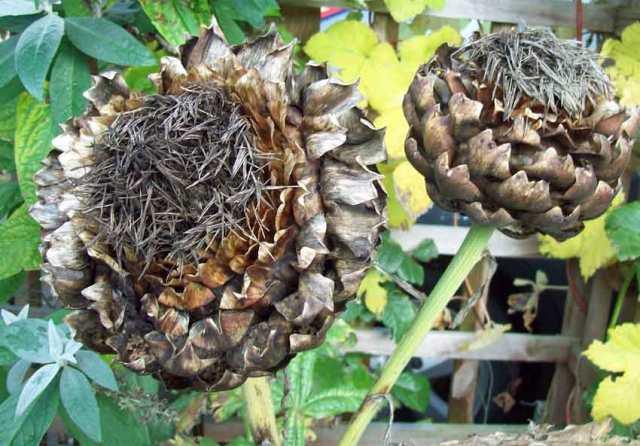Dead heads of globe artichokes