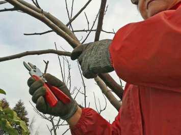 Pruning apple tree
