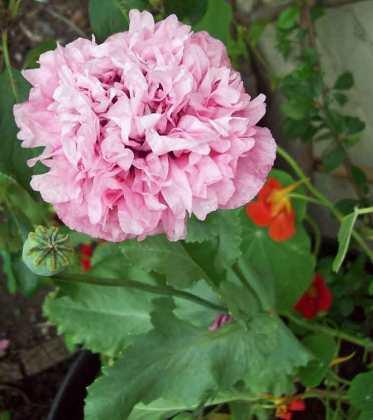 Self-seeded double poppy