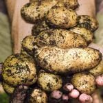 Organic potatoes