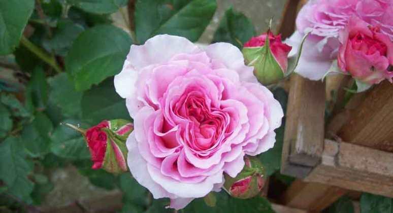 Climbing rose James Galway